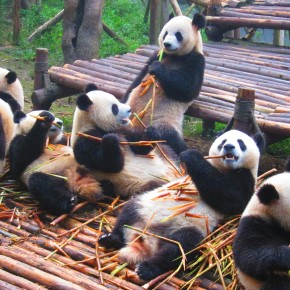 Photo Trek - Visiting the Pandas in Chengdu, China